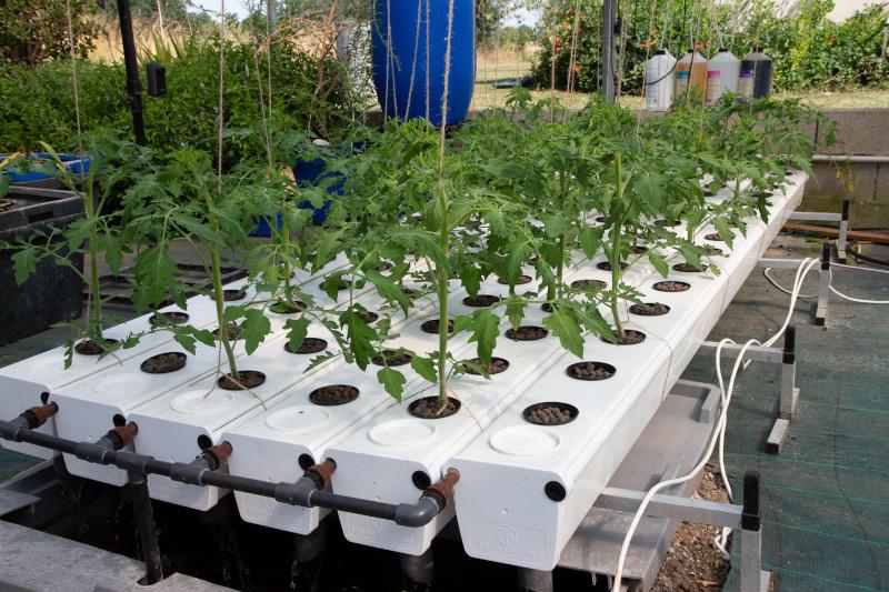 Pěstební systém GrowStream od Terra Aquatica je vhodný i pro rajčata.