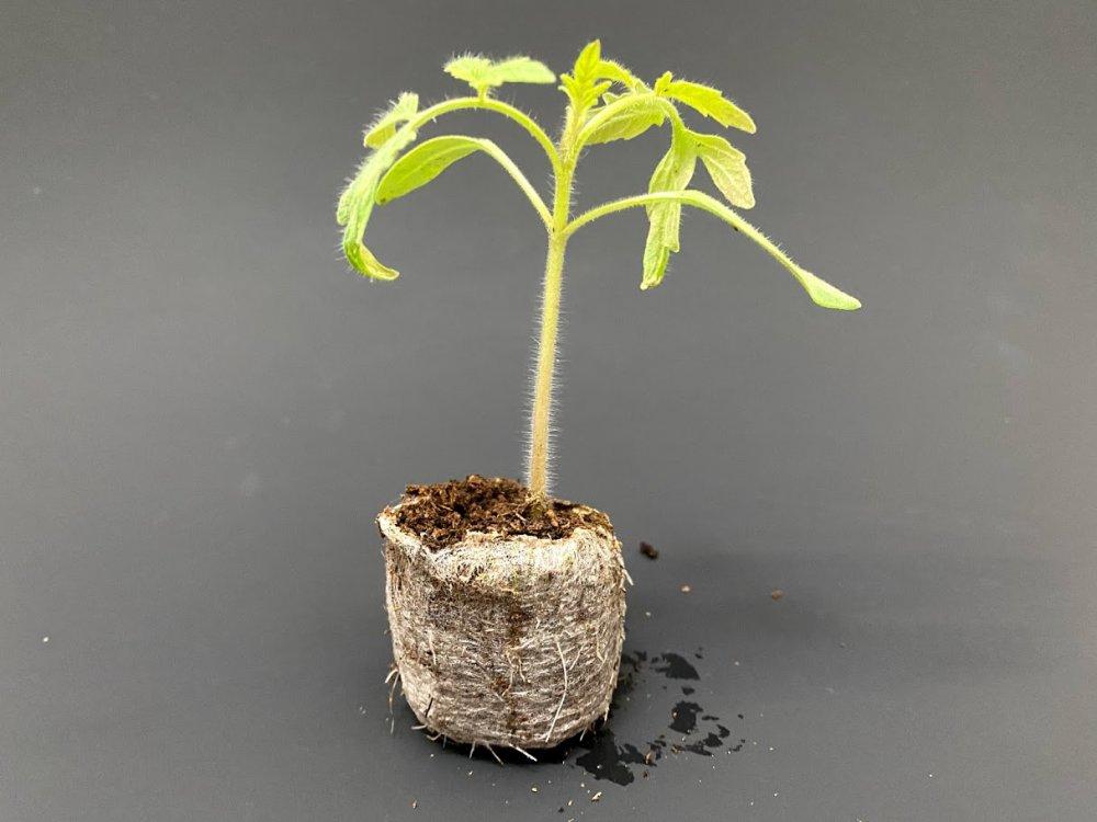 Sazenice v Jiffy tabletách, klíčení semínek a výsadba