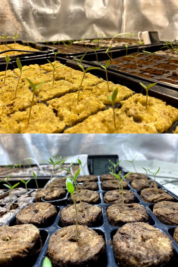 Sazenice rajčat z vyklíčených semínek v inertních substrátech rockwool Grodan (nahoře) a Agrawool (dole).
